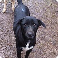 Labrador Retriever Mix Dog for adoption in Baton Rouge, Louisiana - Gusty