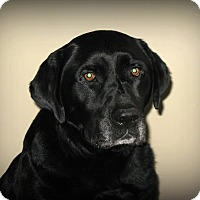 Adopt A Pet :: Bear - Sinking Spring, PA