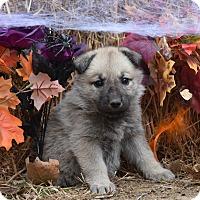 Adopt A Pet :: Gabby - Charlemont, MA