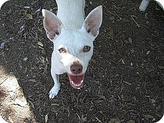 Terrier (Unknown Type, Small)/Dachshund Mix Dog for adoption in Fair Oaks Ranch, Texas - Snowball