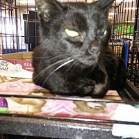 Domestic Shorthair Cat for adoption in Avon, Ohio - Zippy