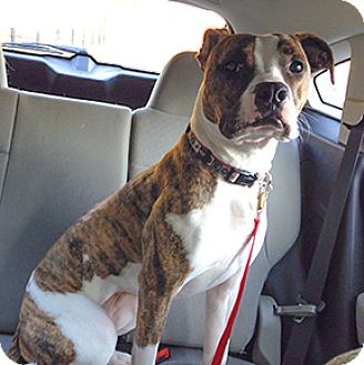 Boxer Mix Dog for adoption in Wilmington, North Carolina - Tank