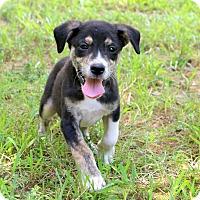 Adopt A Pet :: Jagger~meet me! - Glastonbury, CT