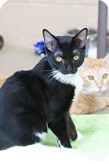Domestic Shorthair Cat for adoption in Chula Vista, California - Richard
