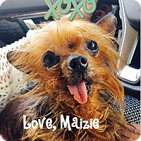 Yorkie, Yorkshire Terrier Dog for adoption in Louisville, Kentucky - Maizie