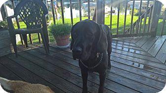 Labrador Retriever/Great Dane Mix Dog for adoption in Island Lake, Illinois - Clare