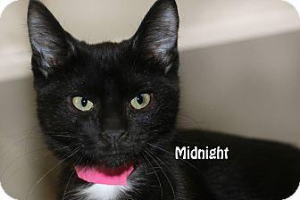Domestic Longhair Kitten for adoption in Idaho Falls, Idaho - Midnight
