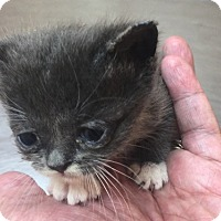 Domestic Shorthair Kitten for adoption in Spring, Texas - Runt