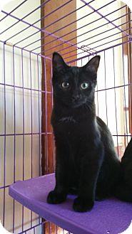 Domestic Shorthair Kitten for adoption in Sharon Center, Ohio - Ross