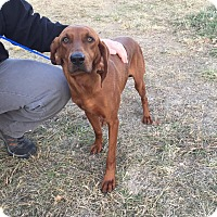Redbone Coonhound Dog for adoption in Providence, Rhode Island - Penelope-URGENT