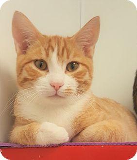 Domestic Shorthair Kitten for adoption in Colorado Springs, Colorado - Paris