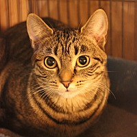 Domestic Shorthair Kitten for adoption in Carlisle, Pennsylvania - Cammy