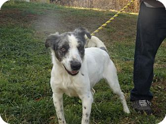 Australian Shepherd/English Setter Mix Dog for adoption in Zaleski, Ohio - Pipper