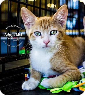 Domestic Shorthair Kitten for adoption in Mooresville, North Carolina - A..  Bennett
