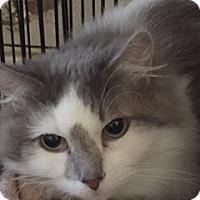 Adopt A Pet :: Cora - McKinney, TX