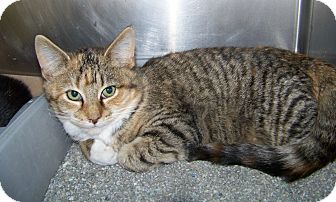 Domestic Shorthair Cat for adoption in Dover, Ohio - Rylie