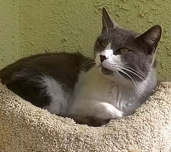 Domestic Shorthair Cat for adoption in West Hills, California - Mama Seuss