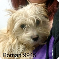 Adopt A Pet :: Roman - baltimore, MD