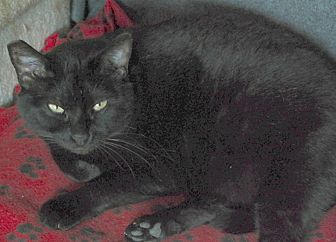 Domestic Shorthair Cat for adoption in San Pablo, California - JESSIE