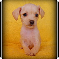 Adopt A Pet :: Rose - Indian Trail, NC