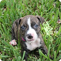 Adopt A Pet :: Bella - Ft. Myers, FL