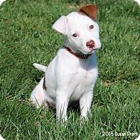 Adopt A Pet :: Blossom - Bedford, VA