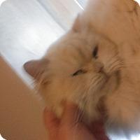 Adopt A Pet :: Jinxie - Whitestone, NY