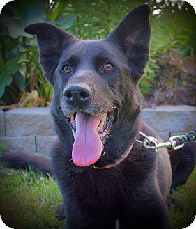 Shepherd (Unknown Type)/Labrador Retriever Mix Dog for adoption in Vancouver, Washington - Annie