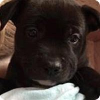 Adopt A Pet :: Meatball - Barnegat, NJ
