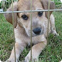 Adopt A Pet :: Jax - Schaumburg, IL