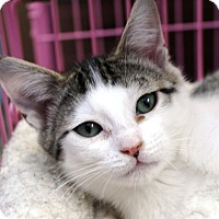 Adopt A Pet :: Miley-kitten - Priest River, ID