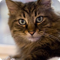 Adopt A Pet :: Dasher Claws - Grayslake, IL
