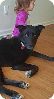 Border Terrier/Labrador Retriever Mix Dog for adoption in Manhattan, Kansas - Boomer