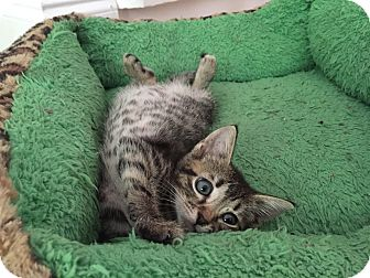 American Shorthair Kitten for adoption in Miami, Florida - Polly