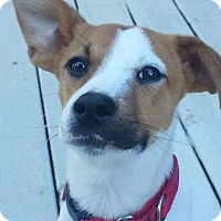 Terrier (Unknown Type, Small)/Jack Russell Terrier Mix Puppy for adoption in Youngstown, Ohio - Jax ~ Adoption Pending