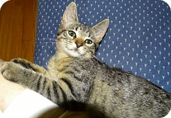 Bengal Cat for adoption in Mt. Vernon, New York - Ponce'
