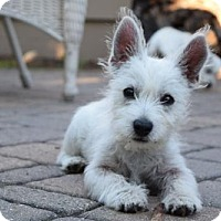 Westie, West Highland White Terrier Puppy for adoption in St. Louis Park, Minnesota - Catheron - No Longer Accepting Applications 10/17
