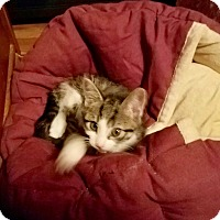 Adopt A Pet :: Anya -Adoption Pending! - Colmar, PA