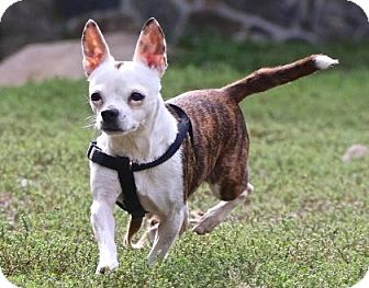 French Bulldog/Chihuahua Mix Dog for adoption in Gloucester, Massachusetts - Trixie