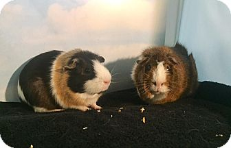 Guinea Pig for adoption in Aurora, Colorado - Brownie and Truffles
