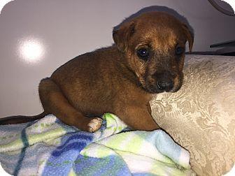 Labrador Retriever Mix Puppy for adoption in Gallatin, Tennessee - Coke