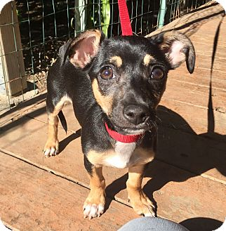 Dachshund/Miniature Pinscher Mix Puppy for adoption in Santa Ana, California - Davis