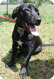 Labrador Retriever/Border Collie Mix Dog for adoption in East Dover, Vermont - Tommy - REDUCED FEE