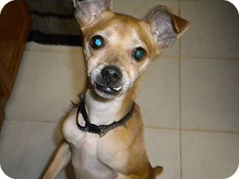 Italian Greyhound/Chihuahua Mix Dog for adoption in West Springfield, Massachusetts - Benny