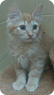 Domestic Mediumhair Kitten for adoption in Chula Vista, California - Max