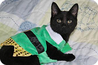 Domestic Shorthair Kitten for adoption in Ocean Springs, Mississippi - Hendrix