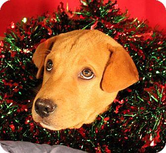 Chow Chow/Labrador Retriever Mix Puppy for adoption in Quitman, Texas - BASHFUL