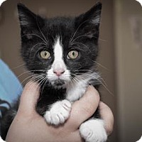Adopt A Pet :: Puma - Wichita, KS