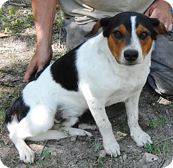 Australian Cattle Dog/Beagle Mix Dog for adoption in Hagerstown, Maryland - Beanz