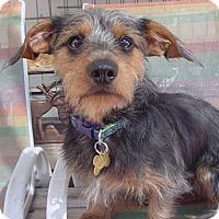 Adopt A Pet :: Jackson - Low shedding dog! - Yorba Linda, CA